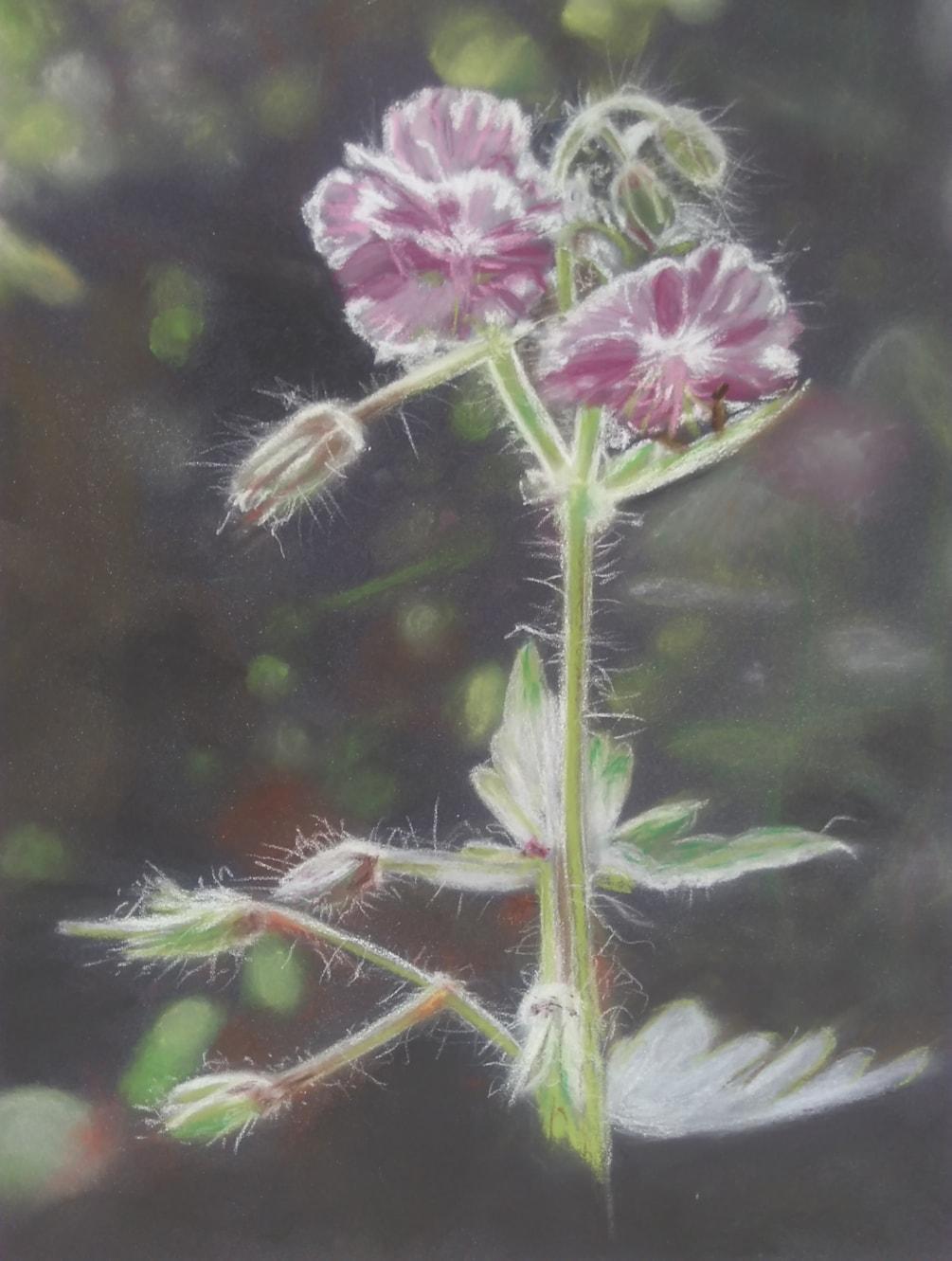 Dusky Cranesbill