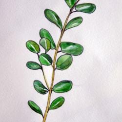 Eucalyptus Branch MD240521