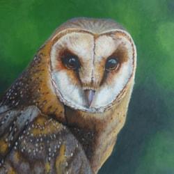 European Barn Owl