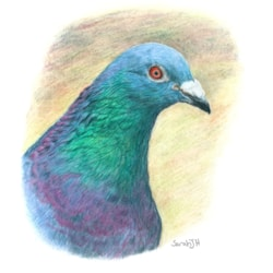 Feral Pigeon 2021-01-27