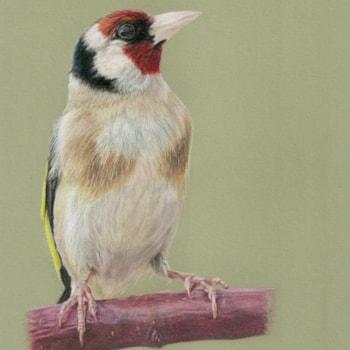 Goldfinch 2021-01-19