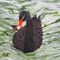 Img_0385 black swan