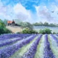 Lavender Field, North Essex.