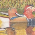 Mandarin Duck CP