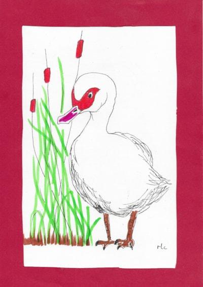 Muscovy Duck (1)