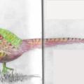 Pheasant png