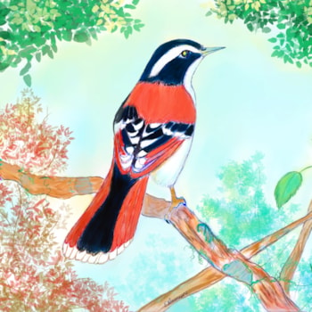 Red Tailed Minla