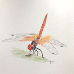 Red dragonfly IMG_2671