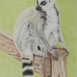 Ring Tail Lemur_3143