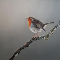 Robin I