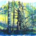 Sherwood Forest Oak Tree