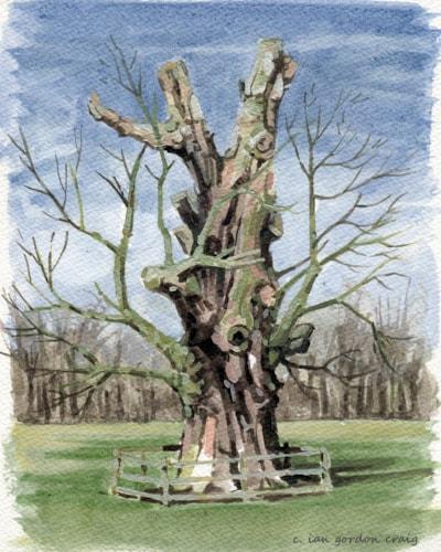 Thoresby Oak