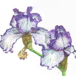 Twin Irises