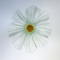 White Cosmos MD 050521