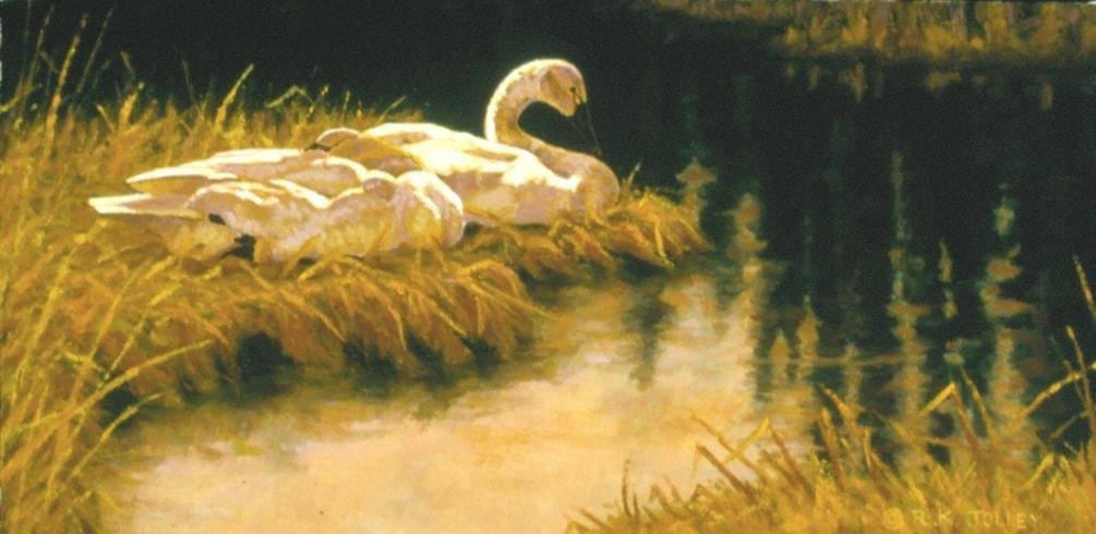 Resting Swans