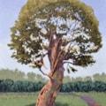 June Oak, Sherwood Forest