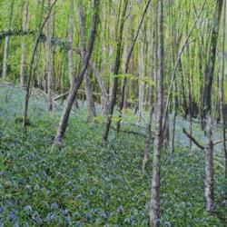 Bluebells Wye-Valley (3)
