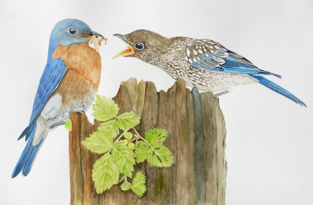 Eastern Bluebird feeding fledgling