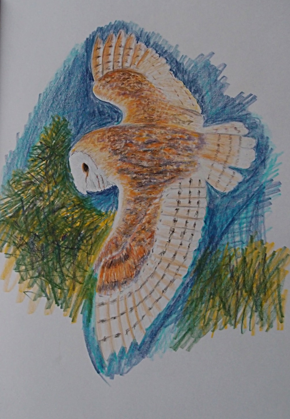 Barn Owl (from  sketchbook)