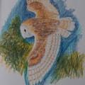 Barn Owl (from  sketchbook)