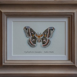 aaabutdpercival-robin moth