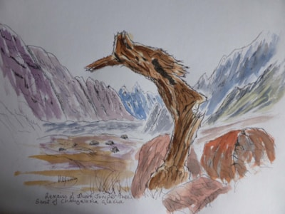 Ancient Juniper stump. pen and wash sketch