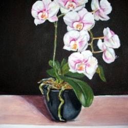 Phalaenopsis Orchid II
