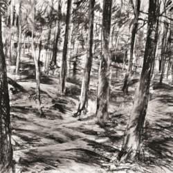 A study of trees - Rydal Woods, Rydal Hall (near Ambleside), Cumbria