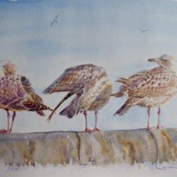 The herring gull family