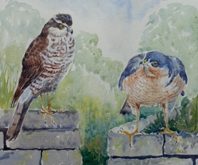 """Sparrowhawks (10 x 12"""")"""