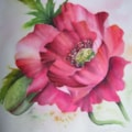 Another version of a poppy