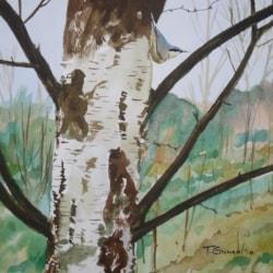 nuthatch on a silver birch