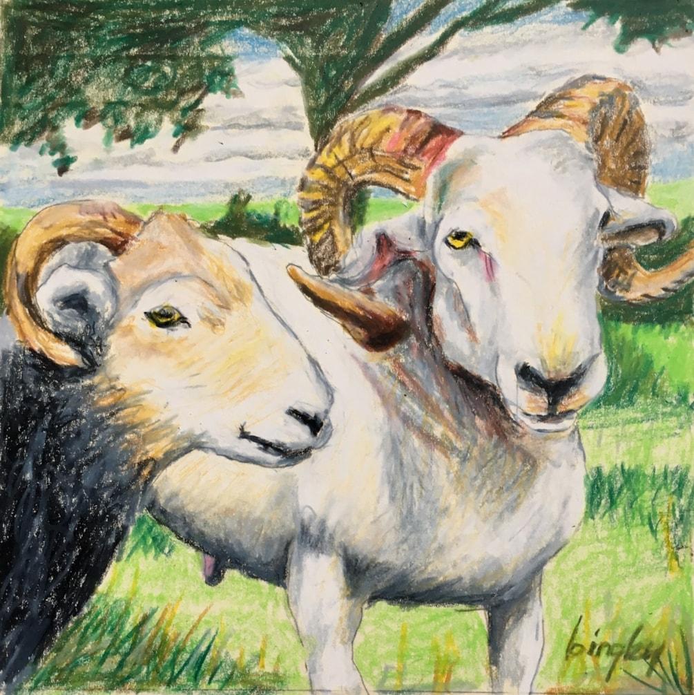 Show Sheep