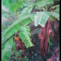 Banana trees (sold)