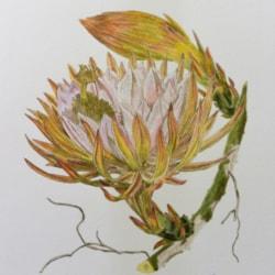 Cereus extensus