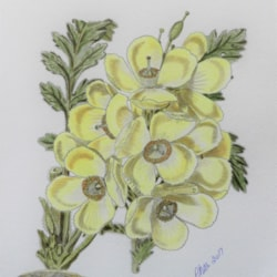 YELLOW POPPY - after Fitch