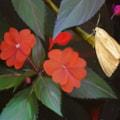 Scarlet Blooms, Golden Moth
