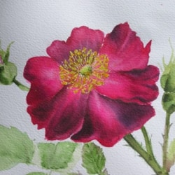 Velvety Rose