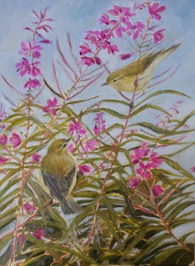 Chiffchaffs in the willowherb