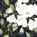 White Rhododrendron