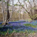 Bluebell Woods, Essex