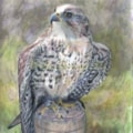 Hektor the Saker Falcon