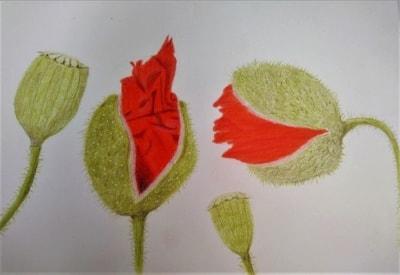 Poppy Card 2