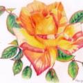 Rose from the walled garden, Applecross