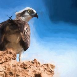 Spectacular Osprey