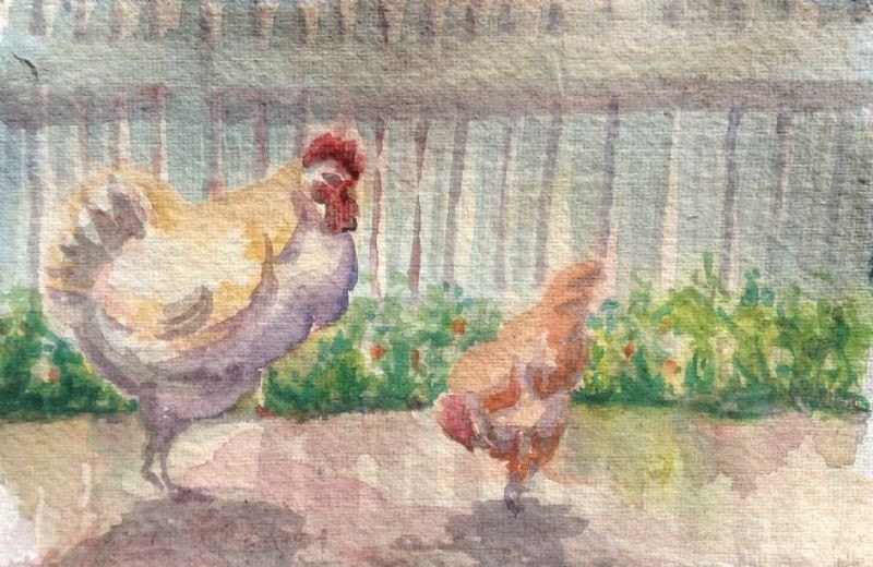 Chickens In The Sunshine