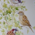 Sparrows in the hawthorn
