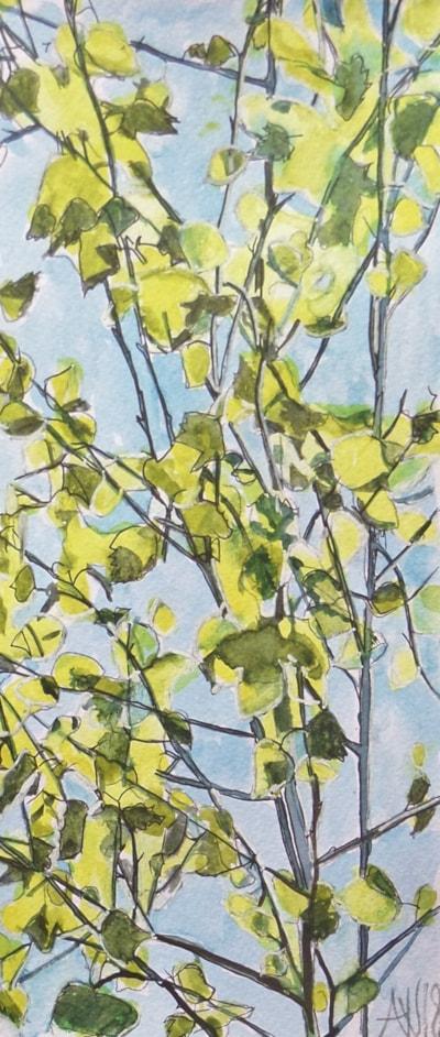Young silver birch tree  in full sun.
