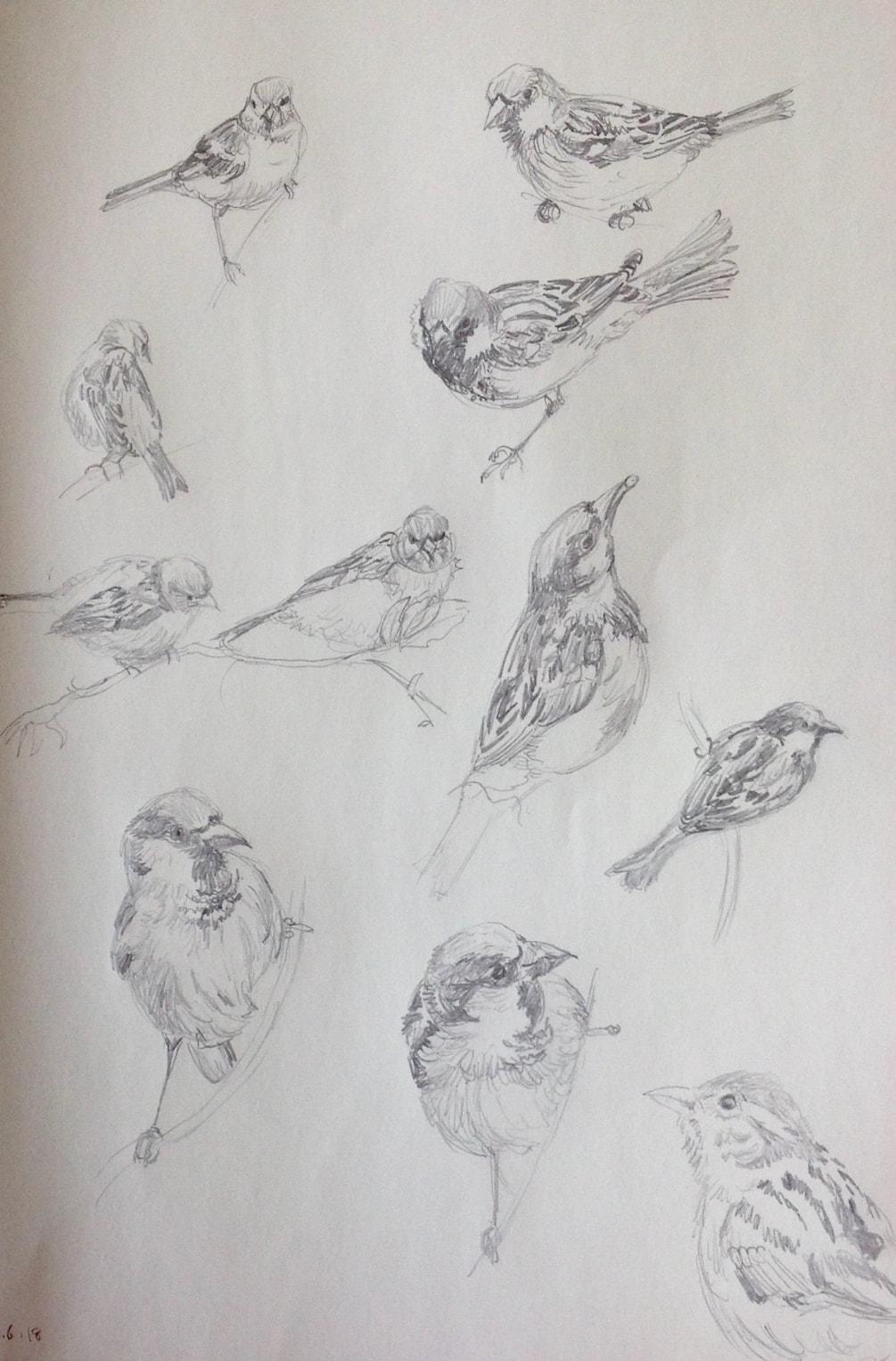 House sparrow sketches