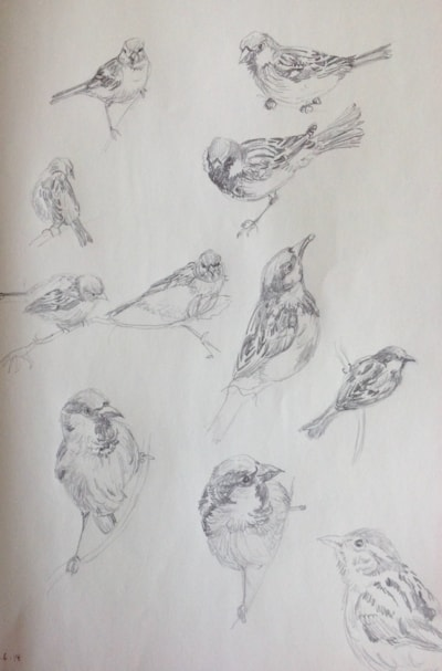 House sparrow sketches